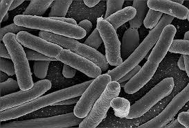 Propionibacterium acnes2